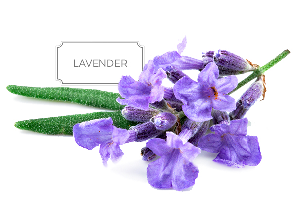 lavender-a.jpg