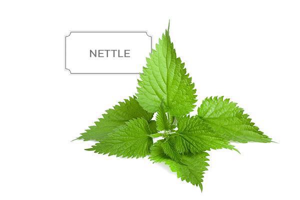 nettle1.jpg