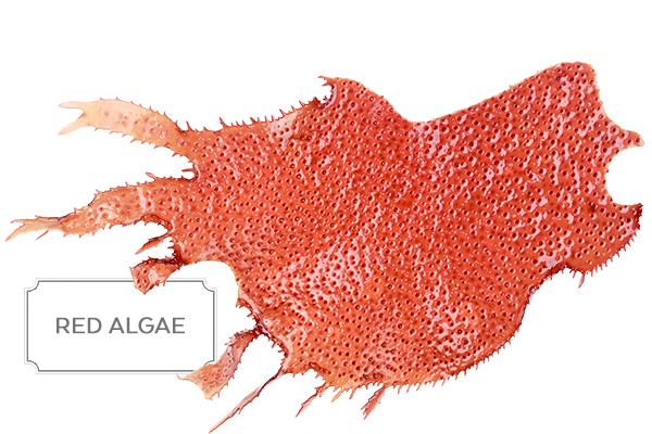 red-algae1.jpg