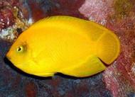 Yellow Pygmy (Heraldi) Angel
