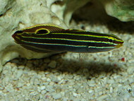 Hector's Goby