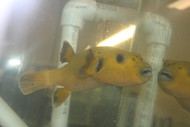 "Golden Pufferfish (Christmas Island)-5-6"""