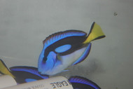 """Blue Hippo Tang-Yellow Belly(5-6"""")"""