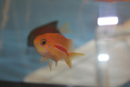 "Red Stripe Anthias(4"")"