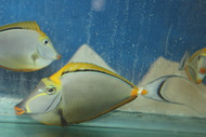 "Blonde Naso Tang-12"" Streamer Male"