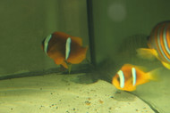Bicinctus Clownfish (true Red Sea PAIRS)