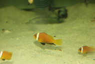 Black Foot (Nigripe) Clownfish