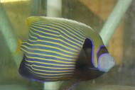 "Imperator Angelfish XL (10-11"")"