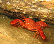 Purple Reef Lobster