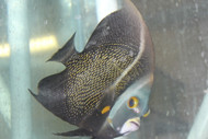 "French Angelfish (7-8"") 