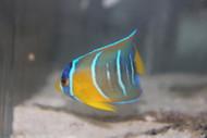 "Queen Angelfish | Holacanthus ciliaris  (2-3"")"