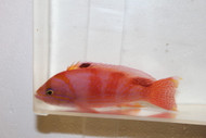 Bimaculatus Anthias-Male