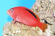 Flame Hawkfish