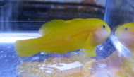 Yellow Clown Goby