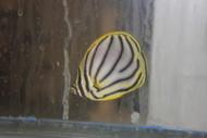 """Meyer's Butterfly (3"""")"""