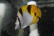 "Falcula Butterflyfish | Chaetodon Falcula 3-4"""