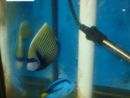 Imperator Angelfish-adult 4-5""
