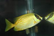 Puellis Rabbitfish