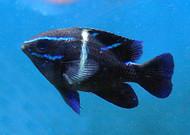 Blue Velvet Damsel