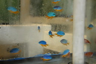 Yellow Bellied blue damsel