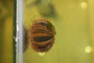 Tuxedo (globe) Urchin