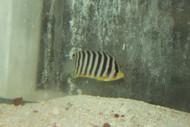 "Multi-barred Pygmy Angelfish (2-3"", Bali)"