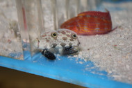 Twin Spot(signal) Goby