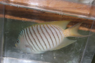 "Zebra Swallowtail Angelfish (Male)-4"""