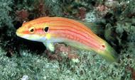 Two-Spot Hogfish-XXL