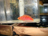"Hawaiian Flame Wrasse-3"" Female"