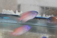 Pink Smith Damsel | Pomacentrus smithi