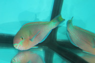 "Quoyi Parrotfish (7"")"