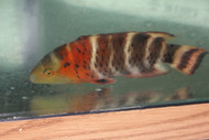 """Red Breasted Wrasse(8"""")"""