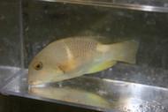 Anchor Tuskfish-CHOERODON ANCHORAGO