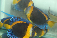 "Scribbled Angel | Chaetodontoplus duboulayi (3-5"" Female)"