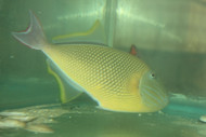 "Crosshatch Trigger (Xanthichthys mento)-8"" male"
