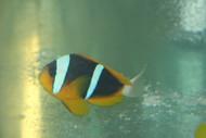 Pair Allardi Clownfish-Kenya
