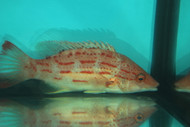 Red Sashed Hogfish-Bodianus Rubrisos