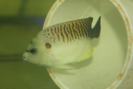 "Tiger Angelfish 4"" (Apolemichthys kingi )"