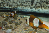 Madagascan clown PAIR  /  Amphiprion Latifasciatus