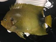 "Africanus Angelfish (10"" streamer male)"