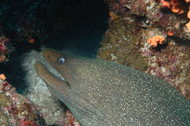 Mexican Finespotted Eel | Gymnothorax dovii