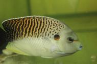 "Tiger Angelfish 3-4"" (Apolemichthys kingi )"