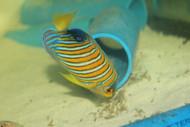 """Madagascar Regal Angel (Yellow Belly)-4-5"""""""