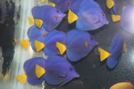 "Red Sea Purple Tang | Zebrasoma xanthurus (2-3"")"