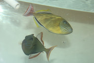 "Crosshatch Trigger (Xanthichthys mento)- (7-8"" Pair)"