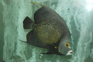"French Angelfish (12"")