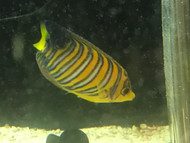 "Regal Angel (True Red Sea)-3"" Sub Adult"