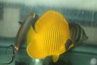 "Golden Butterflyfish   Chaetodon Semilarvatus (3-4"")"