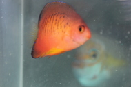 """Hybrid Angelfish 2"""" (aka Shephardi-flame x rusty)"""